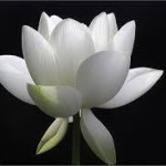 White Lotus on Black