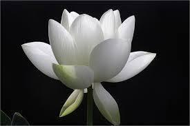 White Lotus on Black