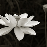 lotusbw